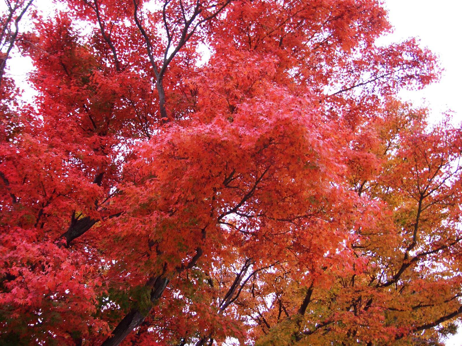 雲仙天草国立公園#1 紅葉 ...